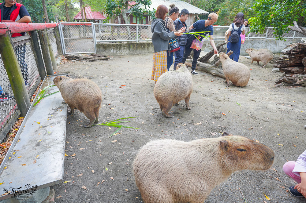 頑皮世界/台南動物園:餵食觸摸長頸鹿、水豚君、羊駝、梅花鹿,還有一票玩到底兒童遊樂園 @緹雅瑪 美食旅遊趣
