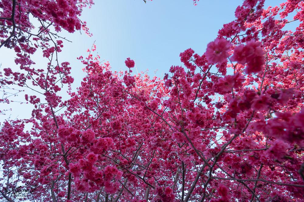 台中賞櫻景點》新社櫻花新秘境,私人櫻花園免費入園參觀拍照 @緹雅瑪 美食旅遊趣