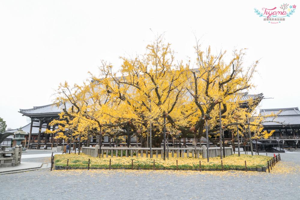 京都賞銀杏必遊景點|西本願寺:超巨大黃金元氣玉銀杏 @緹雅瑪 美食旅遊趣