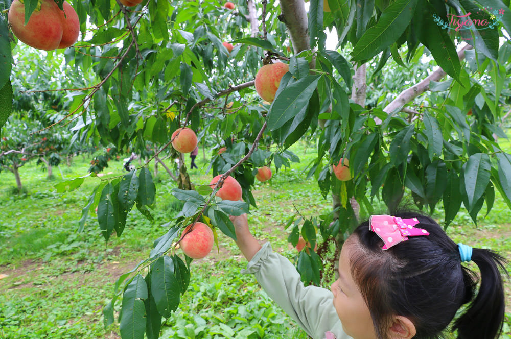 北海道採水果|山本觀光果樹園:現採現吃水蜜桃吃到飽 @緹雅瑪 美食旅遊趣