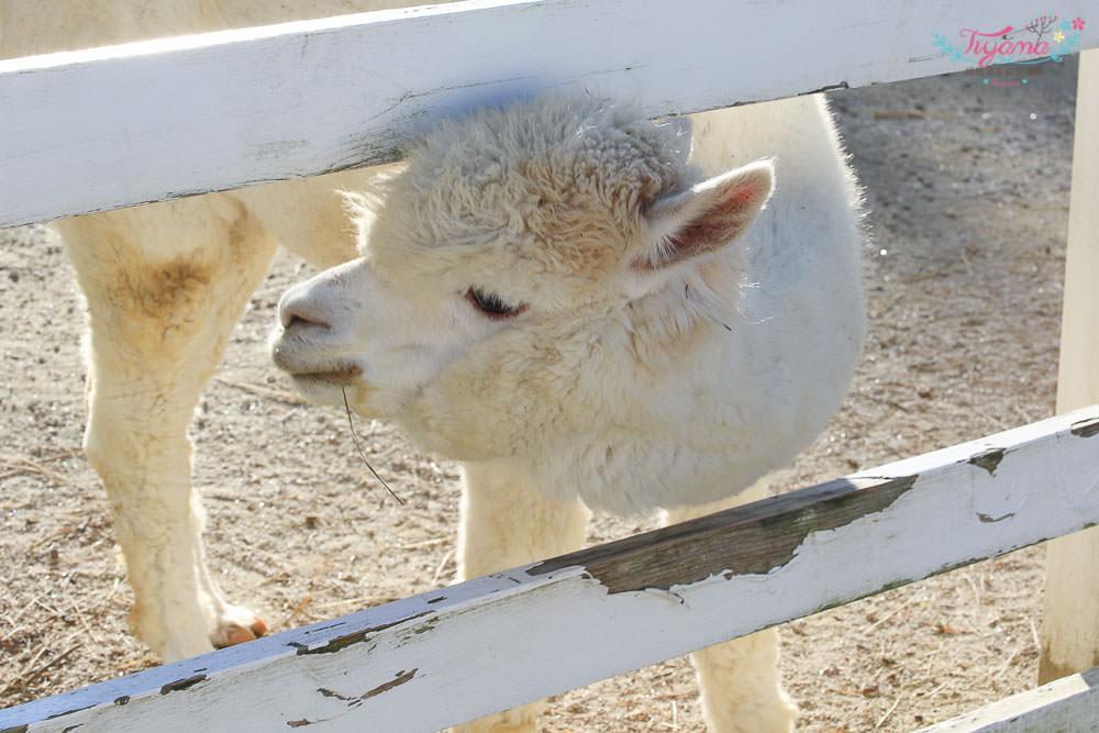 北海道美瑛 四季彩之丘 羊駝牧場:夢幻美景&繽紛漸層花海 @緹雅瑪 美食旅遊趣