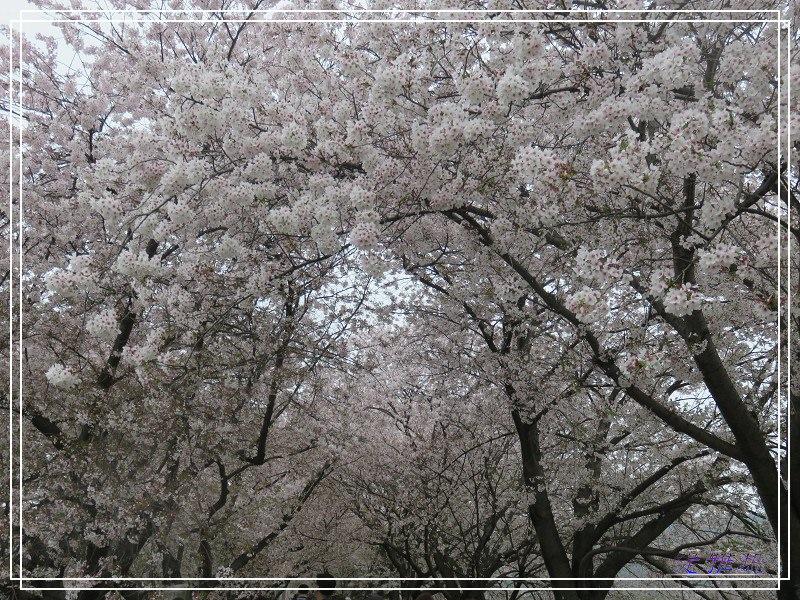【京都景點】櫻花隧道美得像仙境之八幡市.淀川河川公園背割堤.大阪、京都觀光一日券 @緹雅瑪 美食旅遊趣